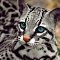 leopard916