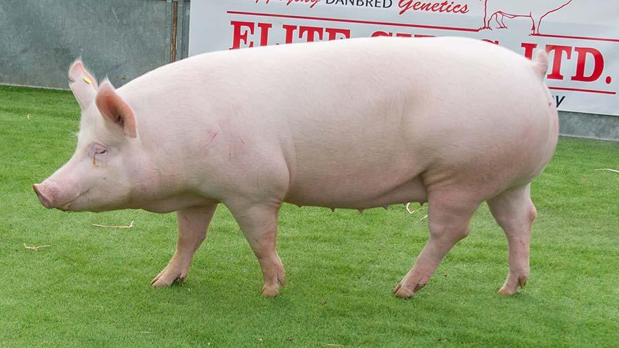 160519-Champion-Pig-3.jpg