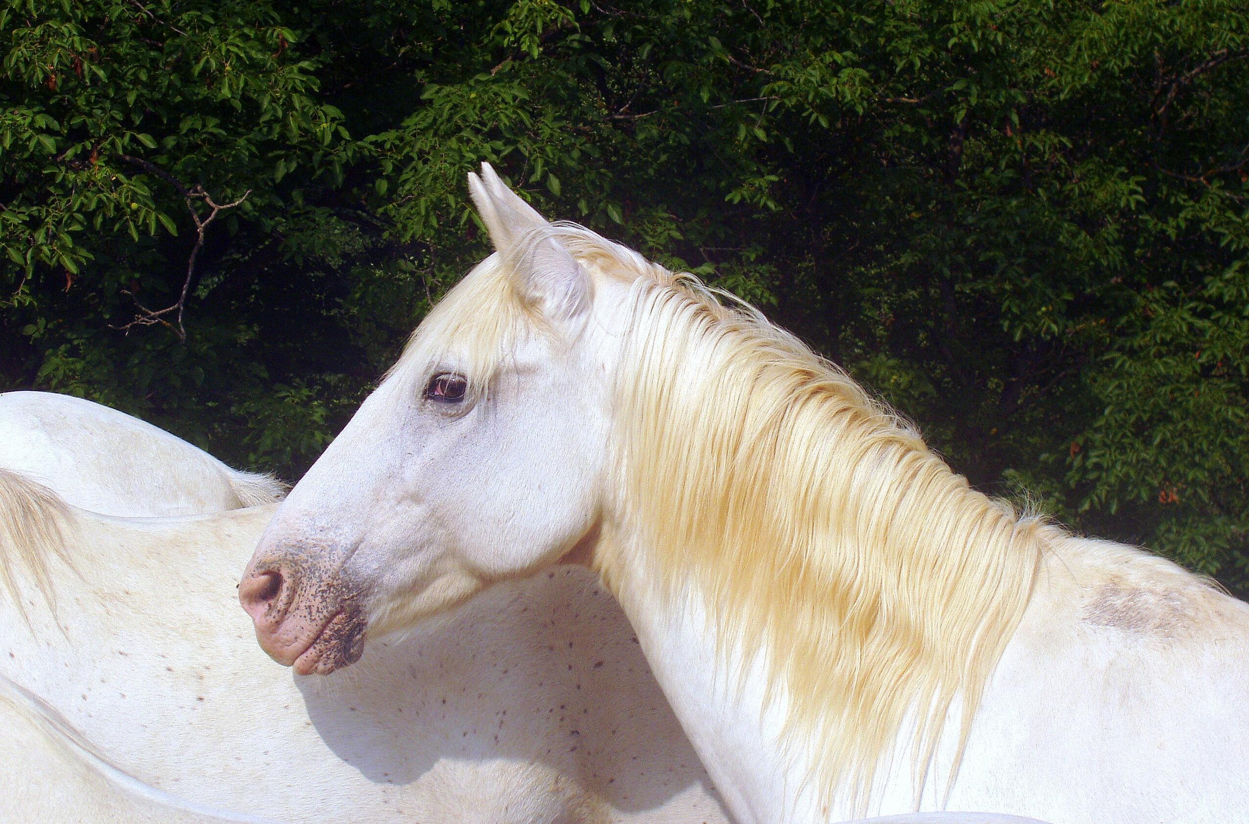 horse-white-animal-crin-eyes-docile-wallpaper.jpg