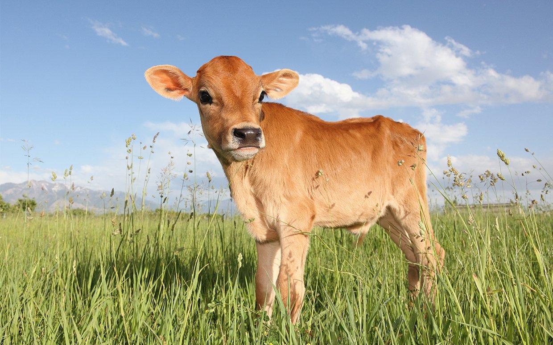 cute-cow-FTR.jpg