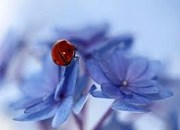 Ladybird blue