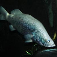 Nileperch