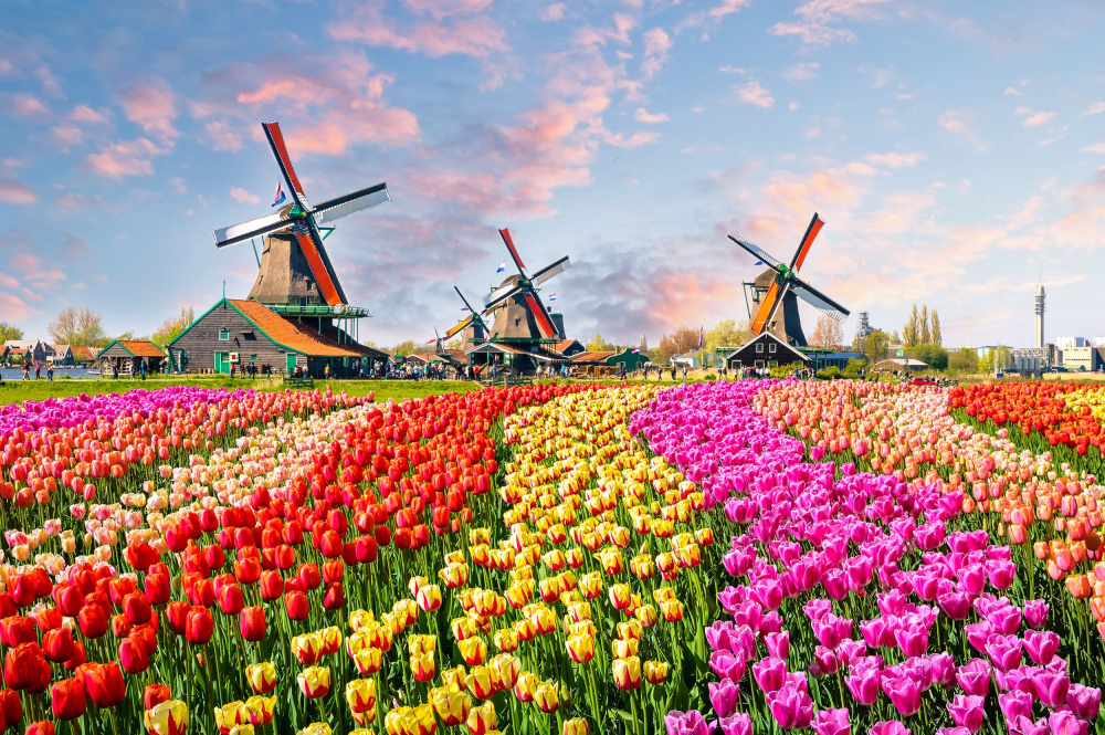 windmills-and-tulips-holland-shutterstock.jpg