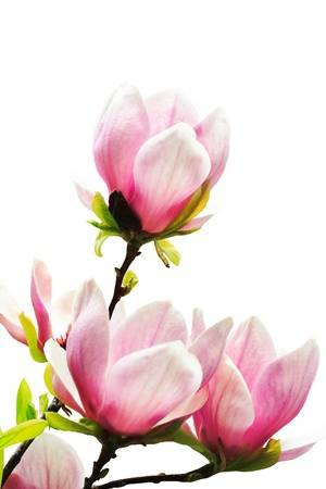 10772746-spring-magnolia-tree-blossoms-on-white-background.jpg