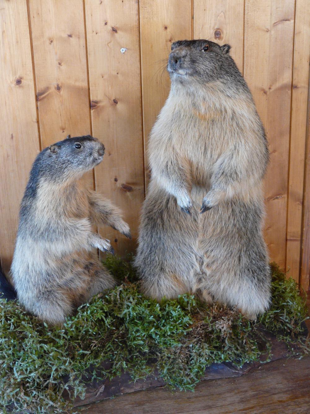 les marmottes.png