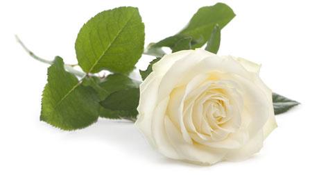 white-rose-460px.jpg