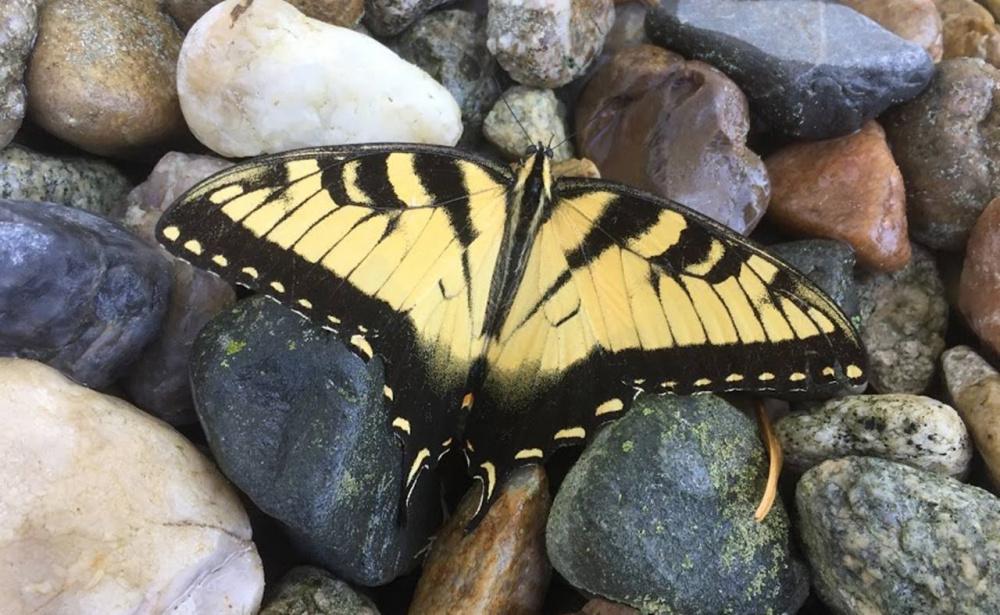 07-11-2017 Western Tiger Swallowtail Butterfly resting in a shady Northside Rock Garden.jpg