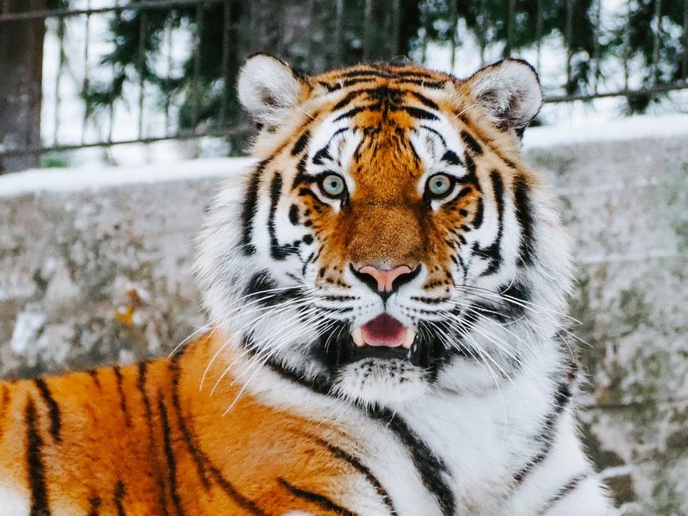 tiger.unsplash3.jpg