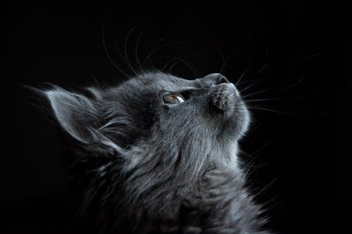 pexels-photo-730896 b grey cat.jpeg