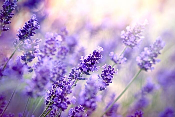 Lavender-Meaning.jpg