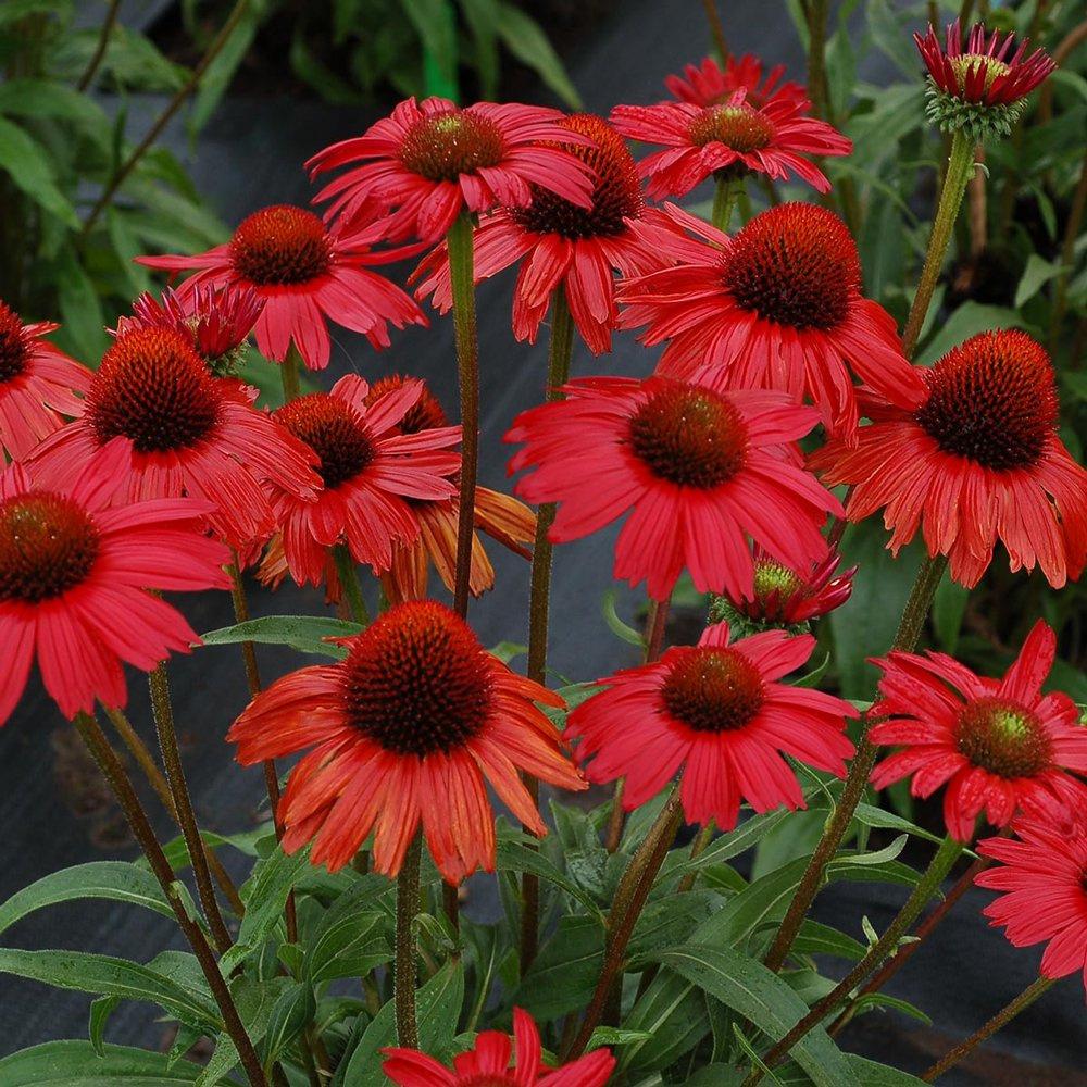 kismet_red_echinacea_plant_1725_detail.jpg
