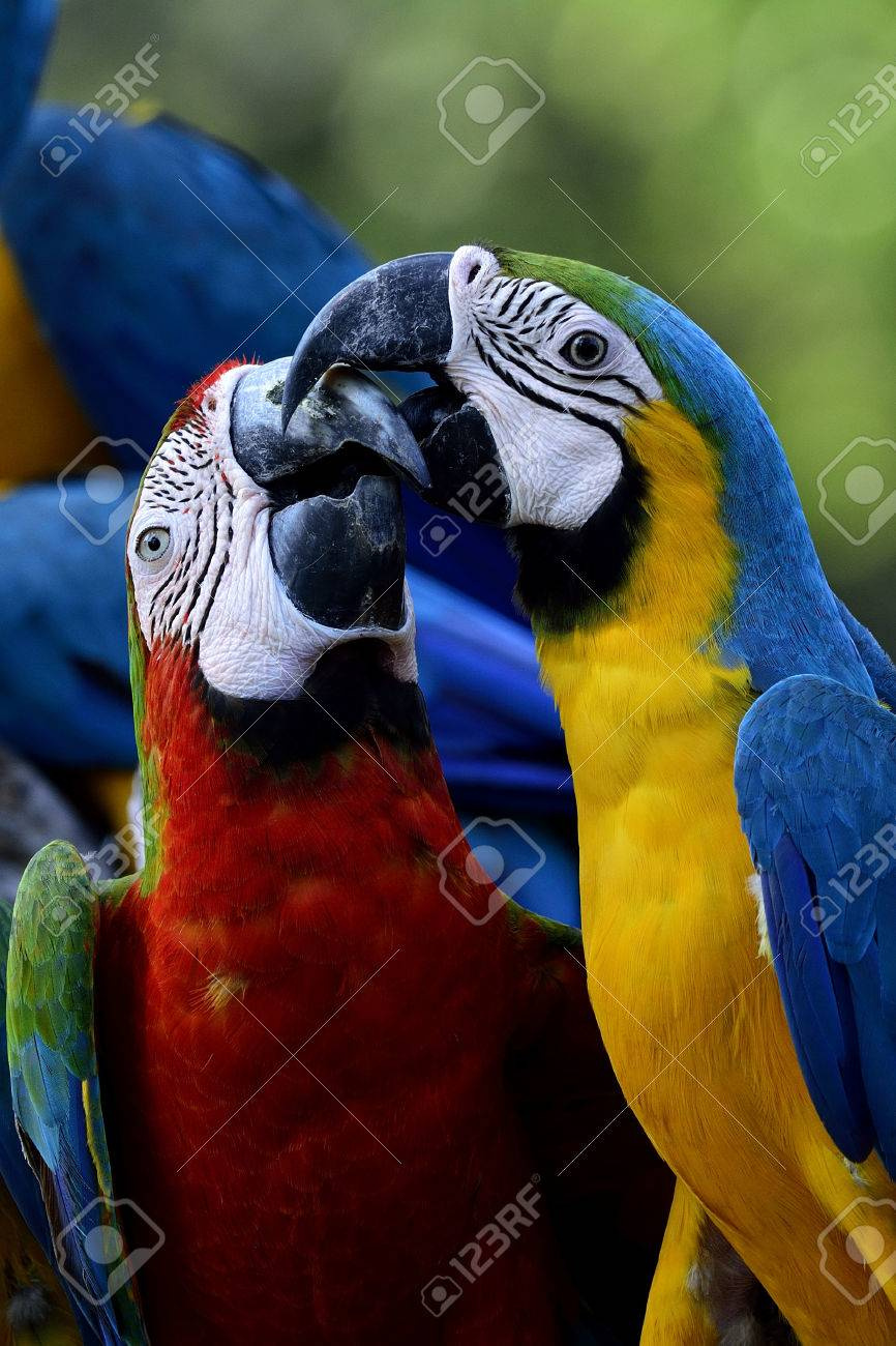 54527448-the-sweet-kissing-moment-of-blue-and-gold-with-harliquin-macaw-birds-lovely-birds.jpg