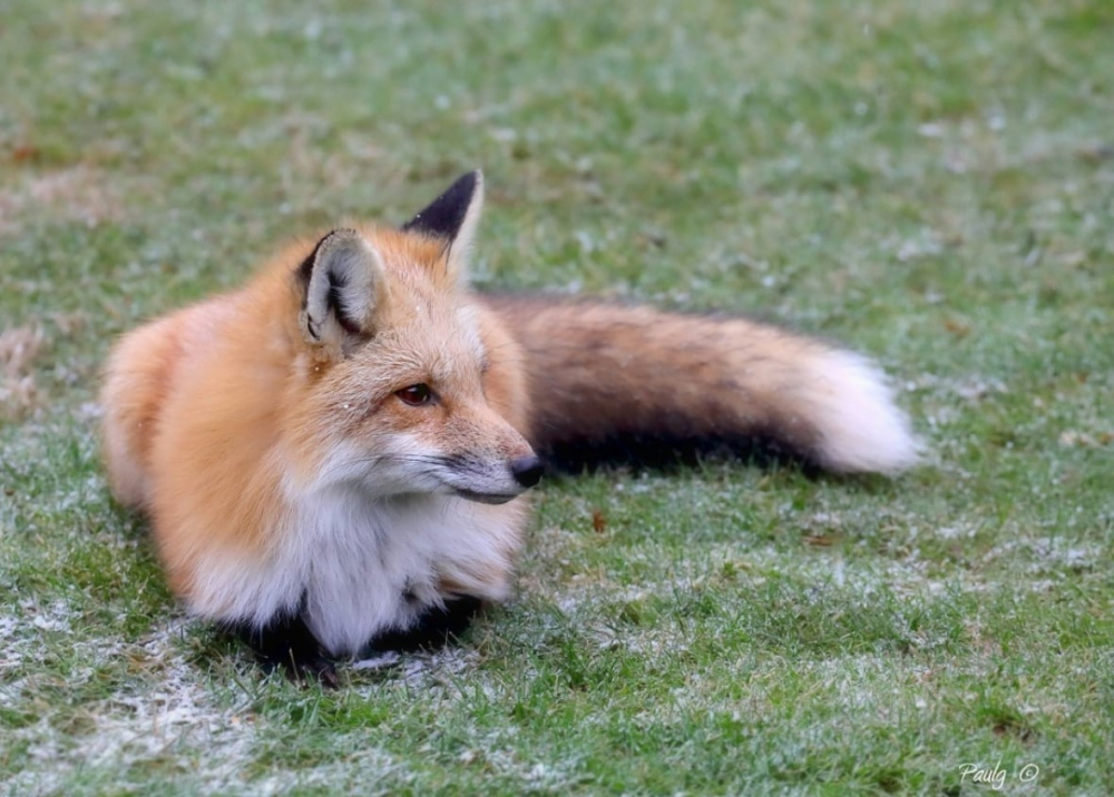 fox-by-paul-gauthier.jpg