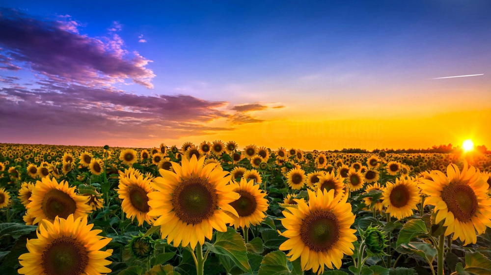 Sunflowers-Golden-View.jpg