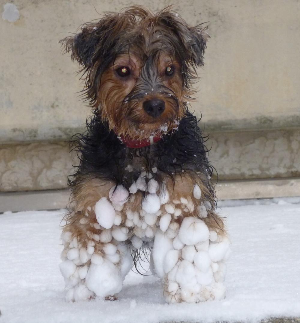Kaline boule de neige.png