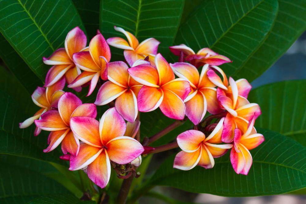 1280-660601872-plumeria-flowers.jpg