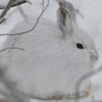 Arctic Hare (H&B 2019 Canadian)