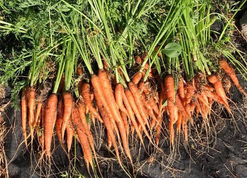 huge bunch of carrots (2)-490x354.jpeg