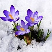 Crocus, purple - thru snow.jpg