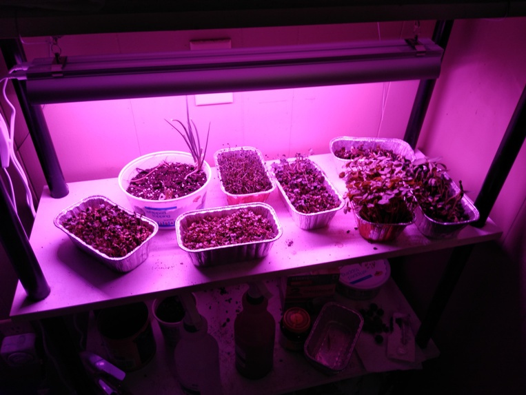 Sprouts under grow lights.jpg