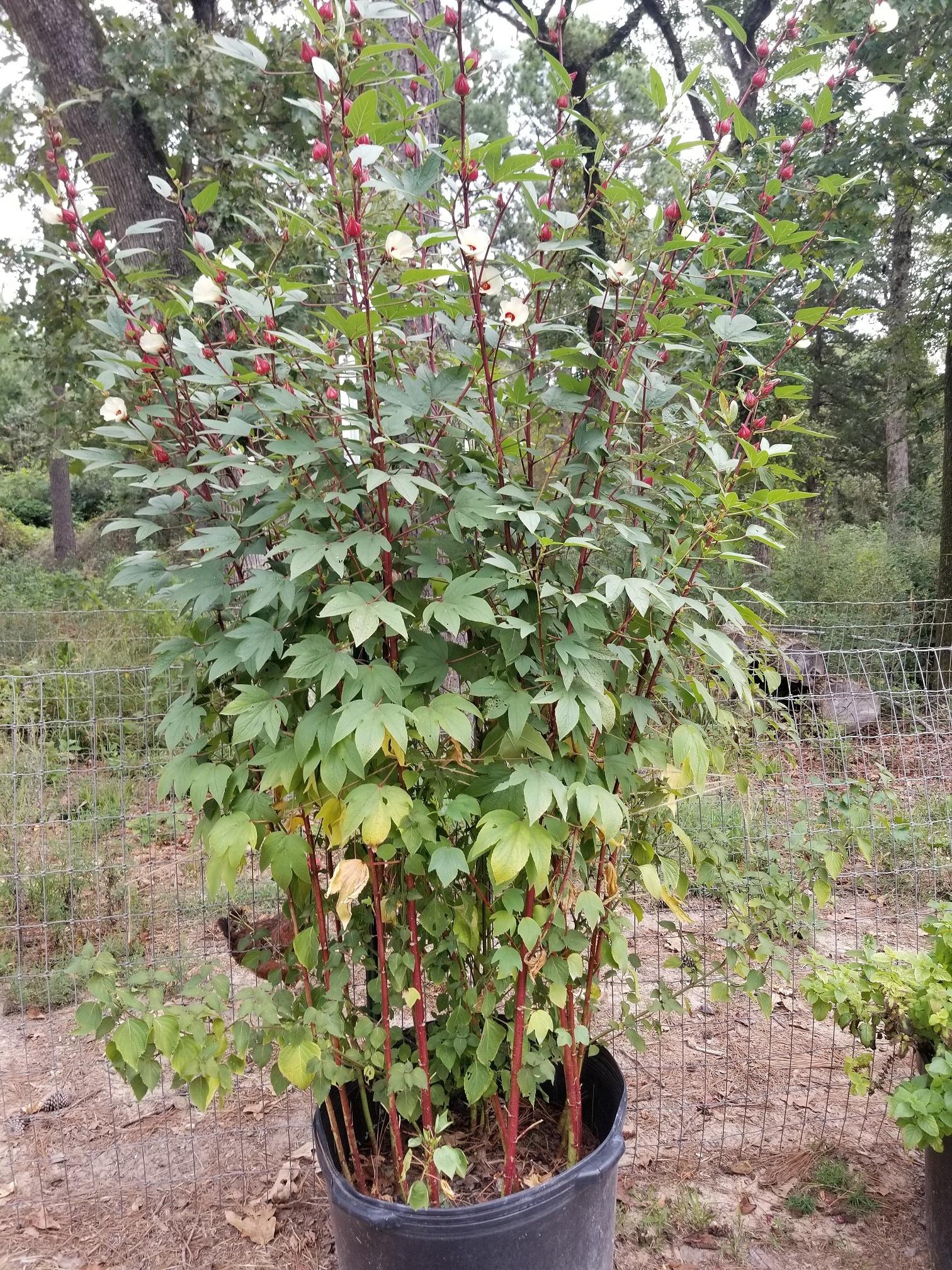 Hibiscus bush2.jpg