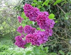 Reddish lilac bush.jpg