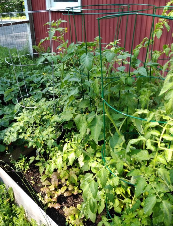 Tomatoes 7-2-20.jpg