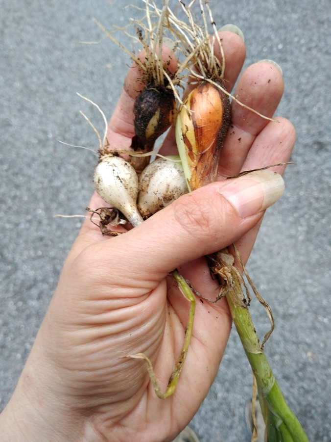 Onions in my hand.jpg