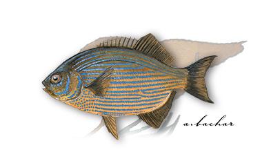 creaturefeature_striped-seaperch.jpg