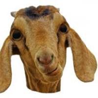 goatfaced