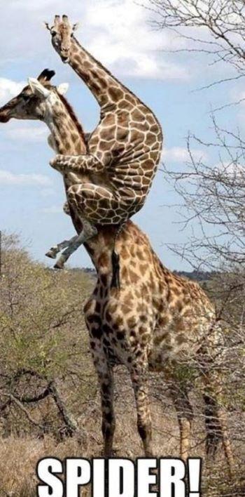 giraffespider.jpg