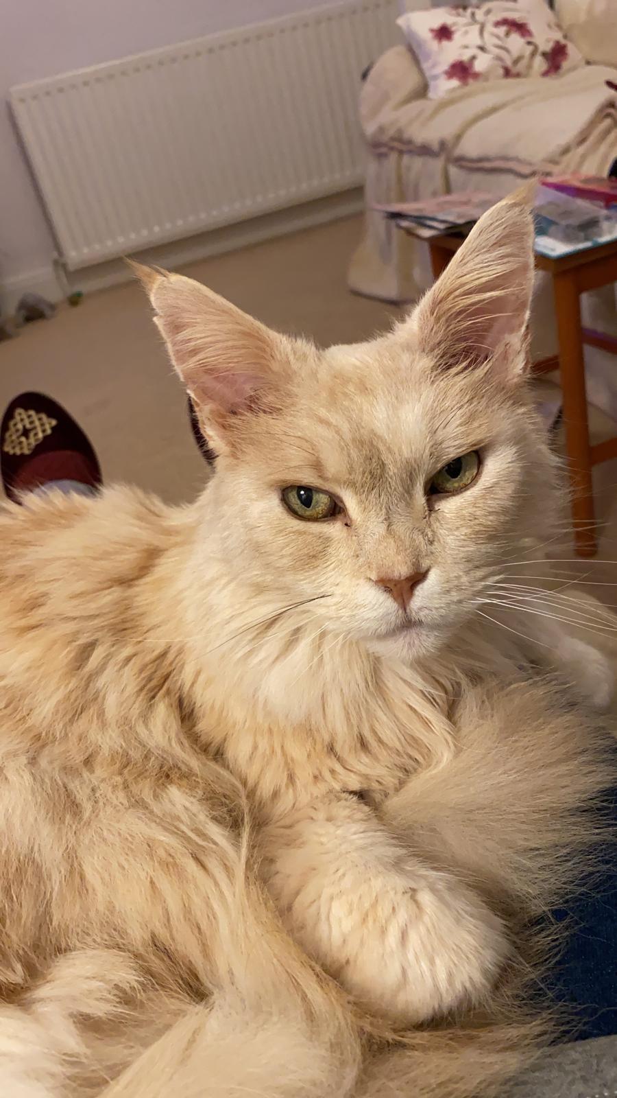 lynx the cat