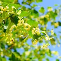 Lime Tree Farm